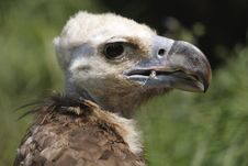 Cinereous Vulture Stock Image