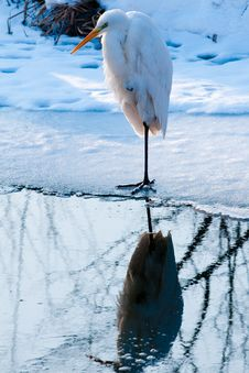Free Great White Egret Standing On Ice Stock Photos - 15614073