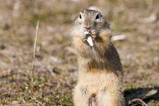 Free European Ground Squirrel Stock Photography - 15614132