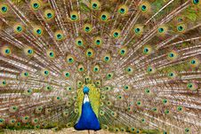 Free Peacock Royalty Free Stock Photos - 15614188