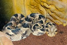 Free Puff Adder In Terrarium Stock Photo - 15614220
