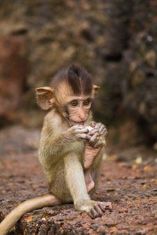 Free Monkey Royalty Free Stock Photos - 15615428