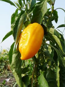 Free Sweet Yellow Pepper On Beds. Royalty Free Stock Photos - 15616538