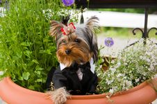 Free Yorkshire Terrier Stock Photos - 15618133