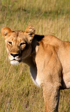 Free Close Up Of Lioness Stock Image - 15619911