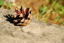 Free Little Fir-cone. Royalty Free Stock Image - 15619956