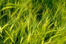 Free Barley Royalty Free Stock Photography - 15619997