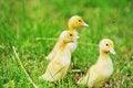 Free Three Fluffy Chicks Royalty Free Stock Photos - 15621378