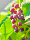 Free Red Bunches Of Grape Royalty Free Stock Photography - 15625327