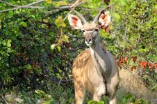 Free Greater Kudu Royalty Free Stock Photo - 15620045