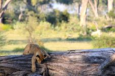 Young Lion Cub On Tree Stock Photos