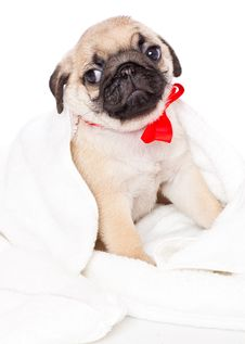 Puppy Of Pug In Towel Royalty Free Stock Image