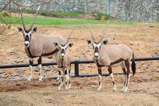 Free Triple Oryxes Royalty Free Stock Photos - 15621778
