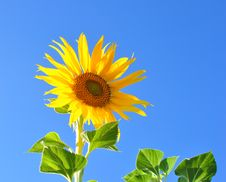 Free One Bright Colors Sunflowers Stock Image - 15622671