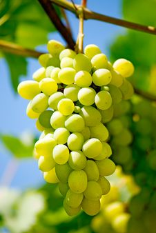 Free Grape Royalty Free Stock Photo - 15623155