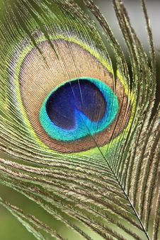 Free Peacock Feather Background Stock Image - 15624331