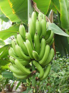 Free Bananas Stock Image - 15624771