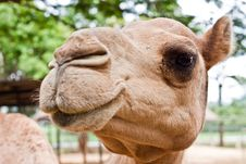 Free Camel S Stock Images - 15624884