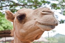 Free Camel S Royalty Free Stock Images - 15624929