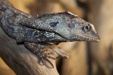 Frilled Lizard Stock Image