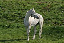Free Arabian Horse Stock Image - 15626691