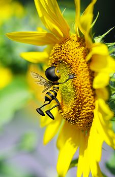 Honey Bee Kissing The Big Yellow Flower Royalty Free Stock Image