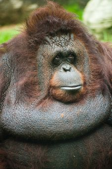 Free OrangUtan Female Royalty Free Stock Photos - 15630728