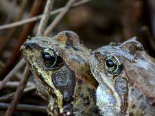 Two Frogs. Spring. Love. Royalty Free Stock Photos
