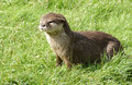 Free Otter Royalty Free Stock Photo - 15642615
