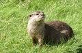 Free An Otter Stock Photos - 15642643