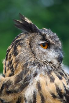 Free Owl Looking Sideways Stock Photos - 15640713