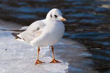 Free Black Heade Gull On Ice Stock Photography - 15641042