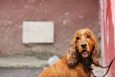 Free Wet Dog Royalty Free Stock Photos - 15641048