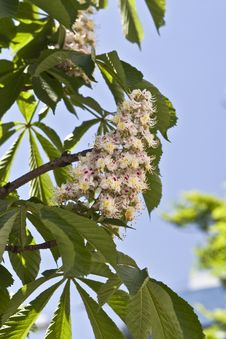 Free Blooming Chestnut Stock Image - 15641151