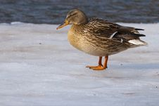 Free Mallard Duck On Ice Royalty Free Stock Photography - 15641237
