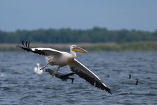 Free White Pelican In Flight Stock Photos - 15641643