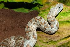 Free Levant Viper Royalty Free Stock Photo - 15641825