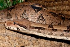 Free Boa Constrictor Portrait Stock Photography - 15641992