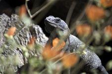 Free Chuckwalla Lizard Sauromalus Obesus Royalty Free Stock Image - 15642016