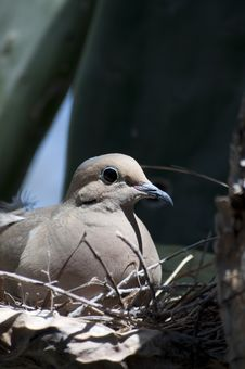 Mourning Dove Zenaida Macroura Royalty Free Stock Photos