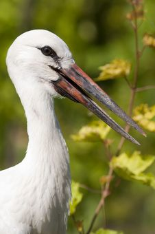 Free White Stork Juvenile Stock Photography - 15642562