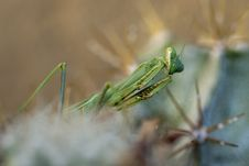 Praying Mantis, Mantis Religiosa Stock Images