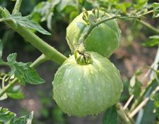 Free Tomatoes On Garden Royalty Free Stock Image - 15642846