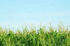 Free Corn Field Royalty Free Stock Image - 15643256
