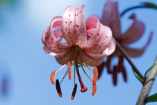 Free Red Lily Flowers Stock Photos - 15643613