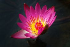 Free Water Lily Stock Images - 15644264