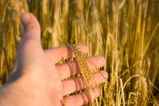 Free Hand With Wheat Royalty Free Stock Image - 15644326