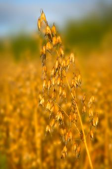 Oats On The Stem And Blurred Background Royalty Free Stock Images