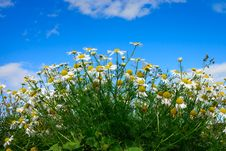 Free Daisy Flowers And Sky Royalty Free Stock Image - 15644456