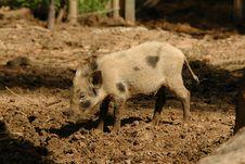 Free Small Pig Stock Photos - 15644593